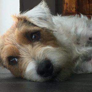 parson russell terrier rilassato