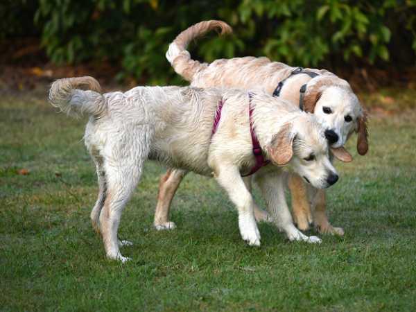 cuccioloni di golden che giocano