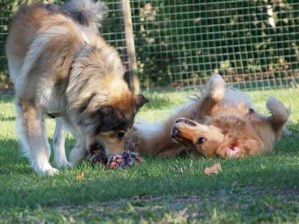 cani adulti che giocano