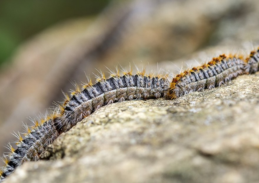 processionaria larve